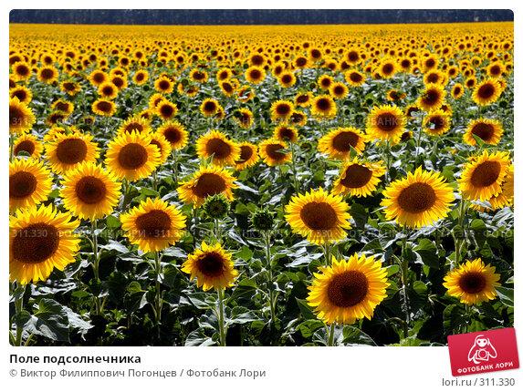 Поле подсолнечника, фото № 311330, снято 10 июля 2007 г. (c) Виктор Филиппович Погонцев / Фотобанк Лори