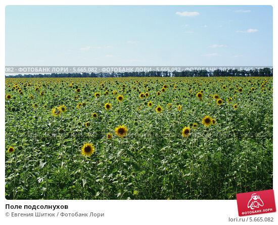 Поле подсолнухов. Стоковое фото, фотограф Евгения Шитюк / Фотобанк Лори