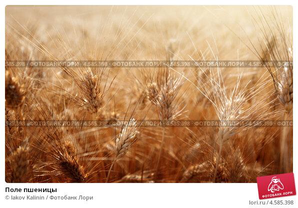 Купить «Поле пшеницы», фото № 4585398, снято 14 июня 2012 г. (c) Iakov Kalinin / Фотобанк Лори