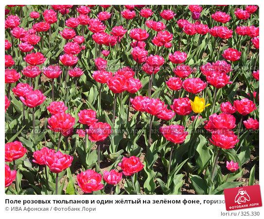 Поле розовых тюльпанов и один жёлтый на зелёном фоне, горизонтально, фото № 325330, снято 30 апреля 2008 г. (c) ИВА Афонская / Фотобанк Лори