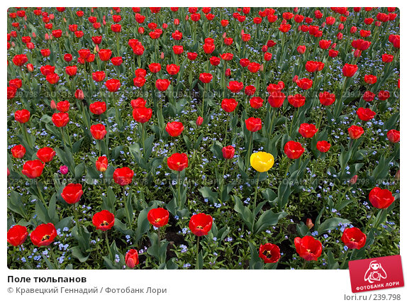 Поле тюльпанов, фото № 239798, снято 29 марта 2017 г. (c) Кравецкий Геннадий / Фотобанк Лори