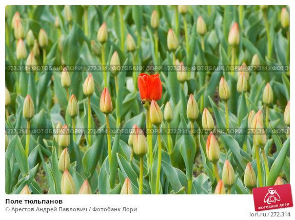 Поле тюльпанов, фото № 272314, снято 11 апреля 2008 г. (c) Арестов Андрей Павлович / Фотобанк Лори