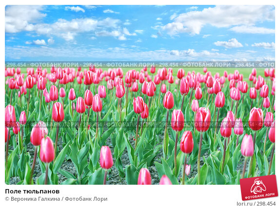 Поле тюльпанов, фото № 298454, снято 24 мая 2008 г. (c) Вероника Галкина / Фотобанк Лори