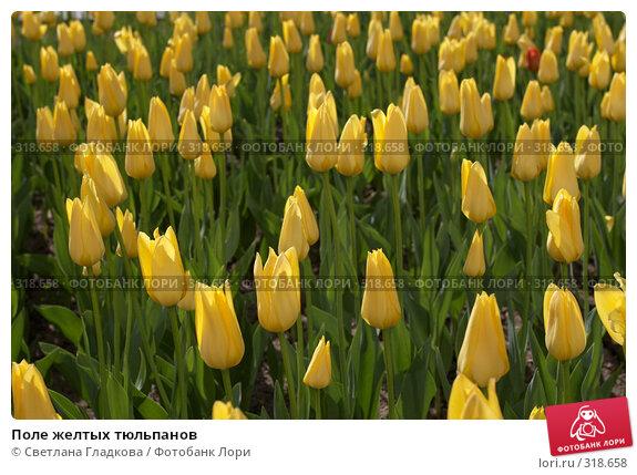 Купить «Поле желтых тюльпанов», фото № 318658, снято 8 мая 2008 г. (c) Cветлана Гладкова / Фотобанк Лори