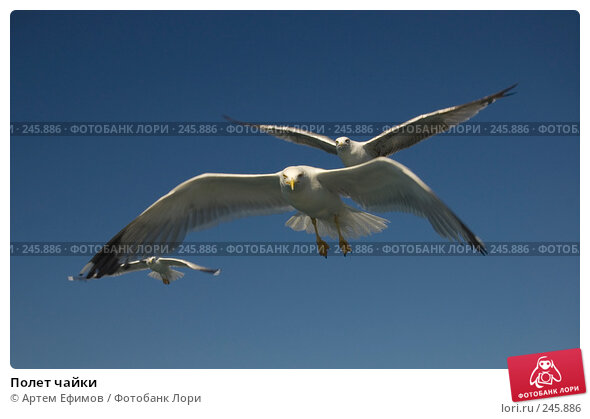 Полет чайки, фото № 245886, снято 16 июля 2007 г. (c) Артем Ефимов / Фотобанк Лори