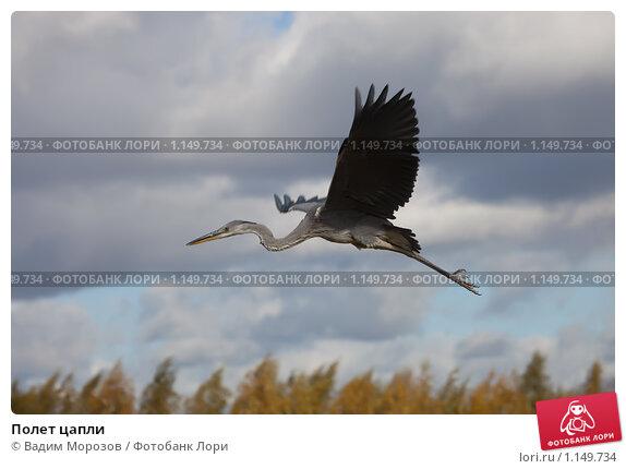 Купить «Полет цапли», фото № 1149734, снято 6 октября 2009 г. (c) Вадим Морозов / Фотобанк Лори