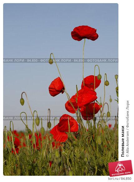 Полевые маки, фото № 84850, снято 18 мая 2007 г. (c) Alla Andersen / Фотобанк Лори