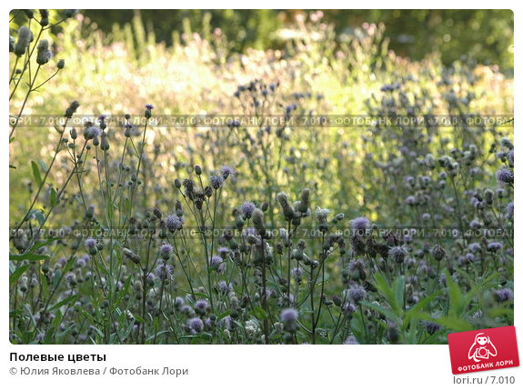 Полевые цветы, фото № 7010, снято 21 июля 2006 г. (c) Юлия Яковлева / Фотобанк Лори