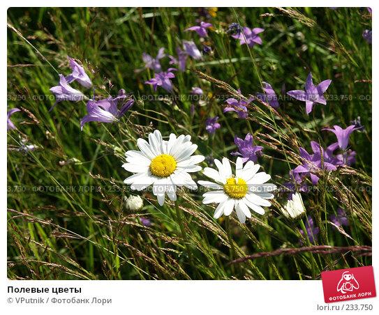 Полевые цветы, фото № 233750, снято 9 июля 2004 г. (c) VPutnik / Фотобанк Лори