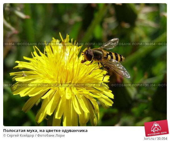 Купить «Полосатая муха, на цветке одуванчика», фото № 30054, снято 1 июня 2006 г. (c) Сергей Ксейдор / Фотобанк Лори