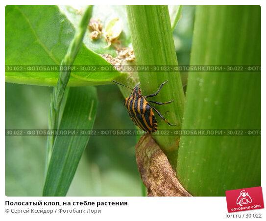 Полосатый клоп, на стебле растения, фото № 30022, снято 20 июня 2006 г. (c) Сергей Ксейдор / Фотобанк Лори
