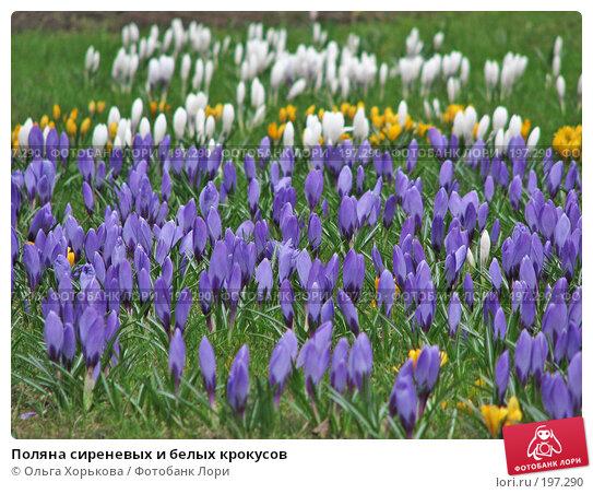 Поляна сиреневых и белых крокусов, фото № 197290, снято 21 апреля 2007 г. (c) Ольга Хорькова / Фотобанк Лори