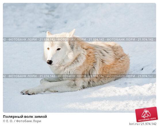 Купить «Полярный волк зимой», фото № 21974142, снято 28 февраля 2016 г. (c) Екатерина Овсянникова / Фотобанк Лори
