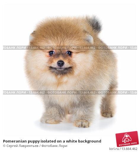 Купить «Pomeranian puppy isolated on a white background», фото № 13664462, снято 23 ноября 2015 г. (c) Сергей Лаврентьев / Фотобанк Лори