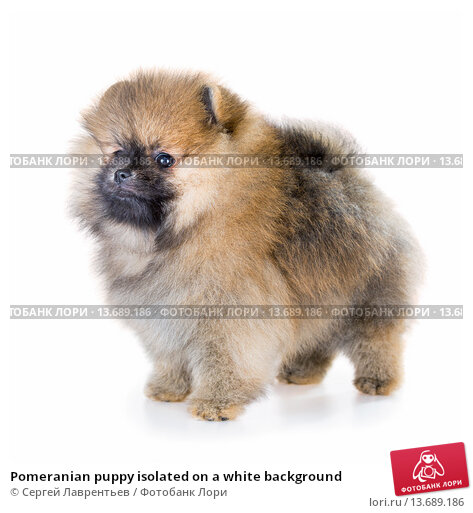 Купить «Pomeranian puppy isolated on a white background», фото № 13689186, снято 23 ноября 2015 г. (c) Сергей Лаврентьев / Фотобанк Лори