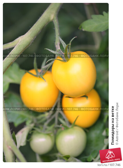 Купить «Помидоры на ветке», фото № 107746, снято 31 августа 2007 г. (c) Astroid / Фотобанк Лори