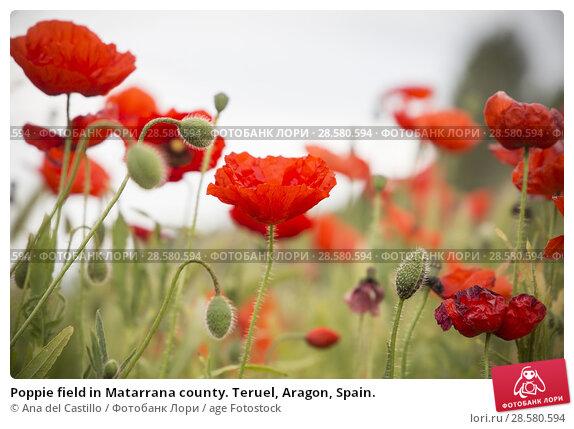 Купить «Poppie field in Matarrana county. Teruel, Aragon, Spain.», фото № 28580594, снято 12 мая 2018 г. (c) age Fotostock / Фотобанк Лори