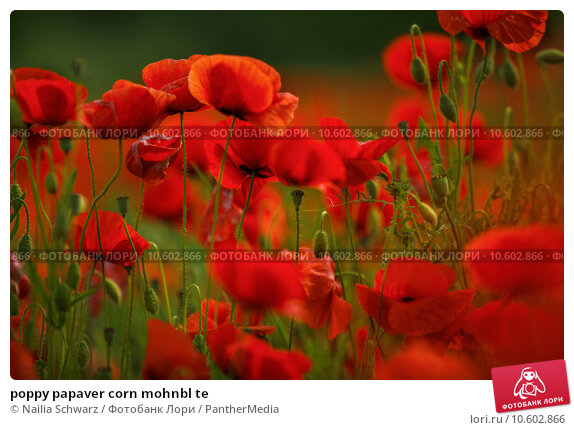poppy papaver corn mohnbl te. Стоковое фото, фотограф Nailia Schwarz / PantherMedia / Фотобанк Лори