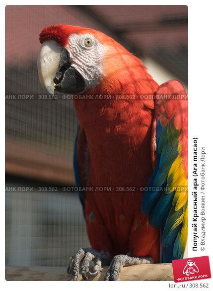 Попугай Красный ара (Ara macao), фото № 308562, снято 17 мая 2008 г. (c) Владимир Воякин / Фотобанк Лори