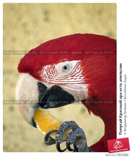 Попугай Красный ара есть апельсин, фото № 303866, снято 17 мая 2008 г. (c) Владимир Воякин / Фотобанк Лори
