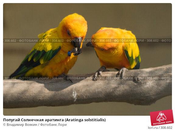 Попугай Солнечная аратинга (Aratinga solstitialis), фото № 308602, снято 17 мая 2008 г. (c) Владимир Воякин / Фотобанк Лори