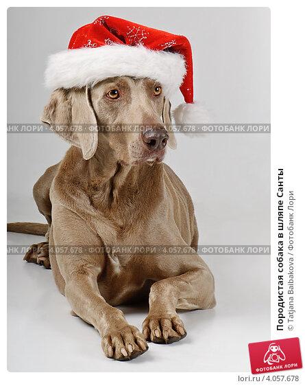 Породистая собака в шляпе Санты. Стоковое фото, фотограф Tatjana Baibakova / Фотобанк Лори