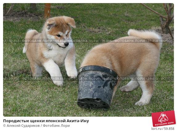 Породистые щенки японской Акита-Ину, фото № 59858, снято 31 марта 2007 г. (c) Алексей Судариков / Фотобанк Лори