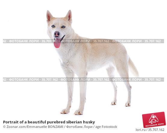 Portrait of a beautiful purebred siberian husky. Стоковое фото, фотограф Zoonar.com/Emmanuelle BONZAMI / age Fotostock / Фотобанк Лори
