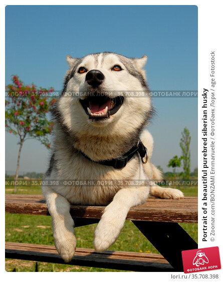 Portrait of a beautiful purebred siberian husky. Стоковое фото, фотограф Zoonar.com/BONZAMI Emmanuelle / age Fotostock / Фотобанк Лори