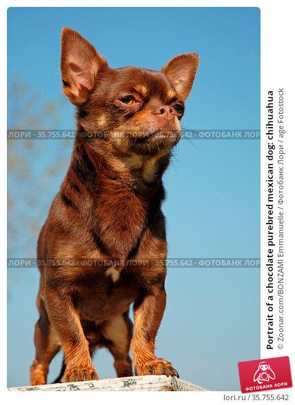 Portrait of a chocolate purebred mexican dog: chihuahua. Стоковое фото, фотограф Zoonar.com/BONZAMI Emmanuelle / age Fotostock / Фотобанк Лори