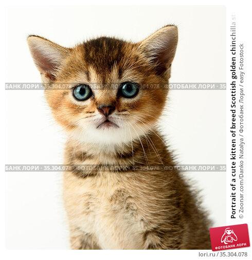 Portrait of a cute kitten of breed Scottish golden chinchilla straight... Стоковое фото, фотограф Zoonar.com/Danko Natalya / easy Fotostock / Фотобанк Лори