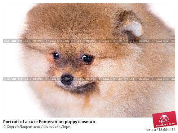 Купить «Portrait of a cute Pomeranian puppy close-up», фото № 13664454, снято 23 ноября 2015 г. (c) Сергей Лаврентьев / Фотобанк Лори