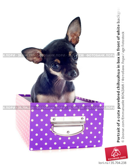 Portrait of a cute purebred chihuahua in box in front of white background. Стоковое фото, фотограф Zoonar.com/Emmanuelle BONZAMI / age Fotostock / Фотобанк Лори