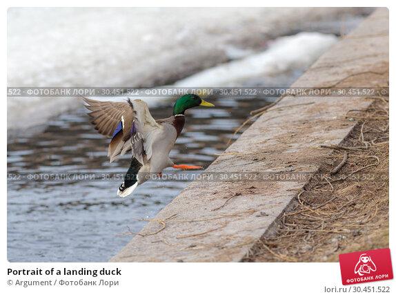 Portrait of a landing duck. Стоковое фото, фотограф Argument / Фотобанк Лори