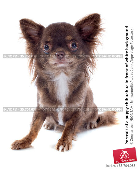 Portrait of a puppy chihuahua in front of white background. Стоковое фото, фотограф Zoonar.com/BONZAMI Emmanuelle / age Fotostock / Фотобанк Лори