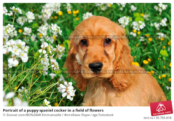 Portrait of a puppy spaniel cocker in a field of flowers. Стоковое фото, фотограф Zoonar.com/BONZAMI Emmanuelle / age Fotostock / Фотобанк Лори