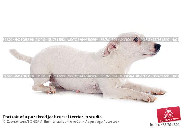 Portrait of a purebred jack russel terrier in studio. Стоковое фото, фотограф Zoonar.com/BONZAMI Emmanuelle / age Fotostock / Фотобанк Лори
