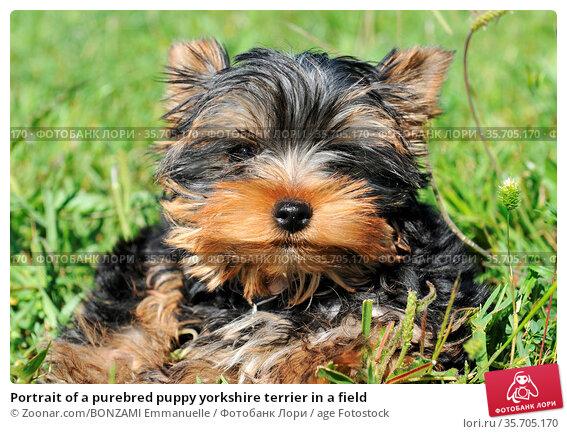 Portrait of a purebred puppy yorkshire terrier in a field. Стоковое фото, фотограф Zoonar.com/BONZAMI Emmanuelle / age Fotostock / Фотобанк Лори