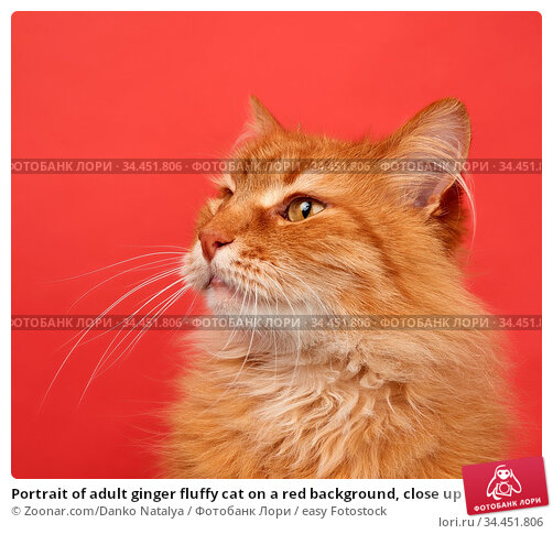 Portrait of adult ginger fluffy cat on a red background, close up. Стоковое фото, фотограф Zoonar.com/Danko Natalya / easy Fotostock / Фотобанк Лори
