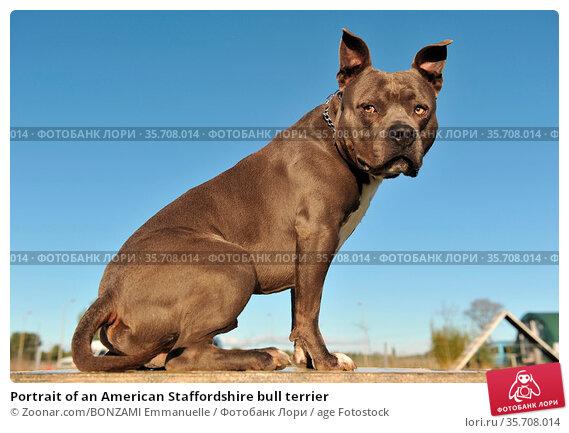 Portrait of an American Staffordshire bull terrier. Стоковое фото, фотограф Zoonar.com/BONZAMI Emmanuelle / age Fotostock / Фотобанк Лори