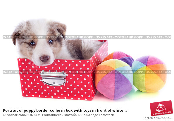 Portrait of puppy border collie in box with toys in front of white... Стоковое фото, фотограф Zoonar.com/BONZAMI Emmanuelle / age Fotostock / Фотобанк Лори
