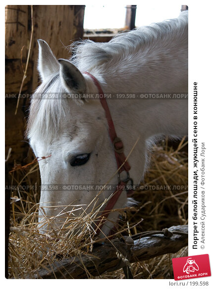 Купить «Портрет белой лошади, жующей сено в конюшне», фото № 199598, снято 10 февраля 2008 г. (c) Алексей Судариков / Фотобанк Лори