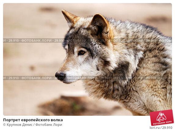 Портрет европейского волка, фото № 29910, снято 4 марта 2007 г. (c) Крупнов Денис / Фотобанк Лори