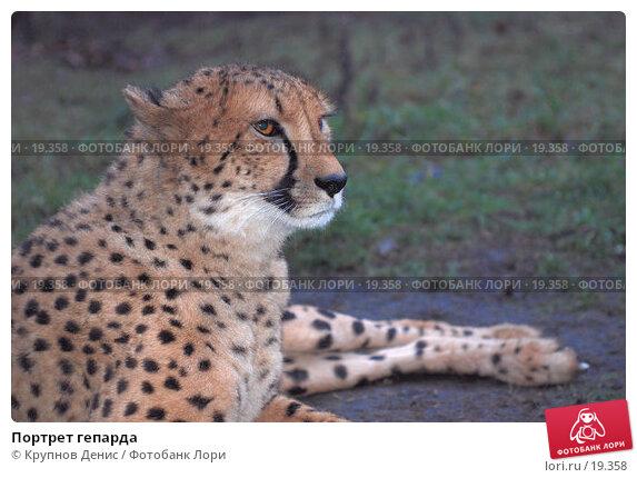 Портрет гепарда, фото № 19358, снято 13 декабря 2007 г. (c) Крупнов Денис / Фотобанк Лори