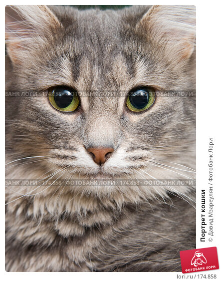 Портрет кошки, фото № 174858, снято 12 января 2008 г. (c) Давид Мзареулян / Фотобанк Лори