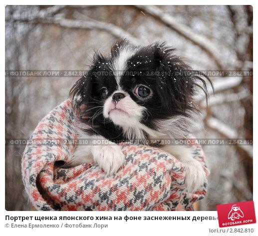 Купить «Портрет щенка японского хина на фоне заснеженных деревьев», фото № 2842810, снято 11 февраля 2011 г. (c) Елена Ермоленко / Фотобанк Лори