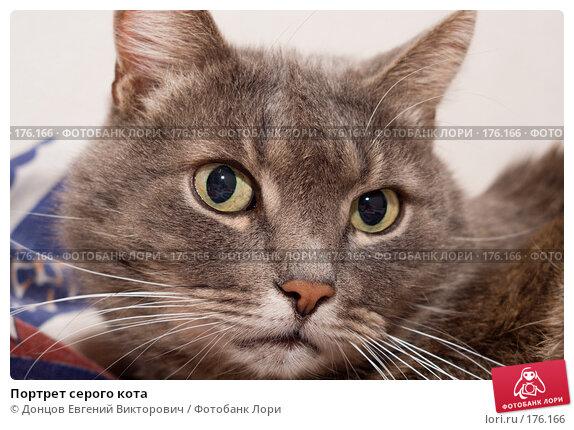 Портрет серого кота, фото № 176166, снято 10 января 2008 г. (c) Донцов Евгений Викторович / Фотобанк Лори