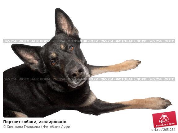 Купить «Портрет собаки, изолировано», фото № 265254, снято 17 февраля 2008 г. (c) Cветлана Гладкова / Фотобанк Лори
