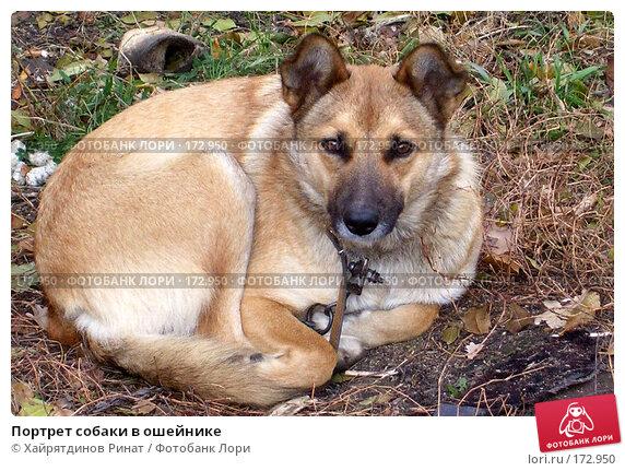 Портрет собаки в ошейнике, фото № 172950, снято 28 октября 2006 г. (c) Хайрятдинов Ринат / Фотобанк Лори