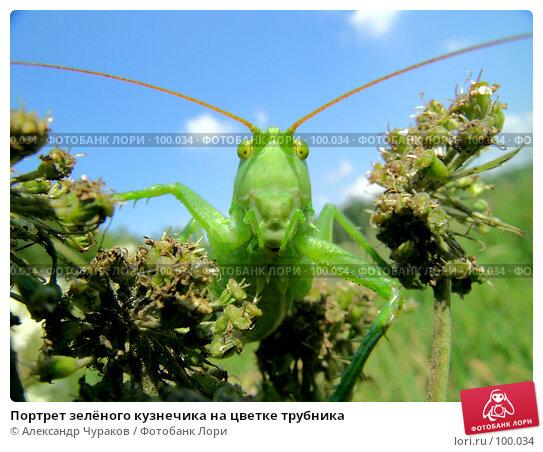 Портрет зелёного кузнечика на цветке трубника, фото № 100034, снято 24 июля 2005 г. (c) Александр Чураков / Фотобанк Лори